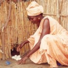 Poultry contribute significantly to household food security & are usually under the control of women. Photo:R Alders, FAO