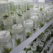 Tissue culture: Photo Credit, ACIAR